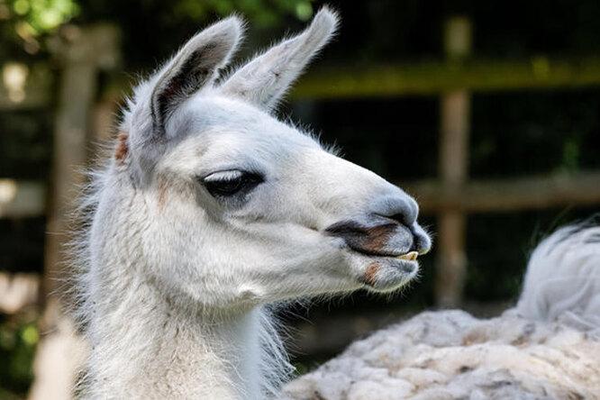 Что это сней? Домашняя лама пугает соседей «мертвым» сном