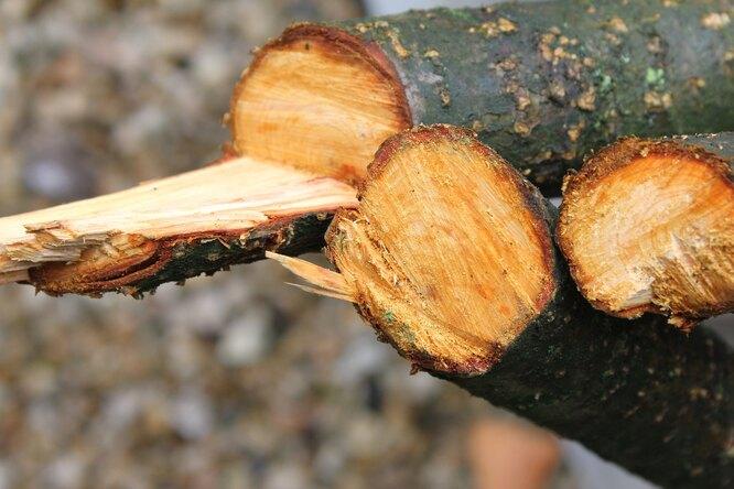Такие срезы недопустимы при обрезке яблонь, особенно осенью