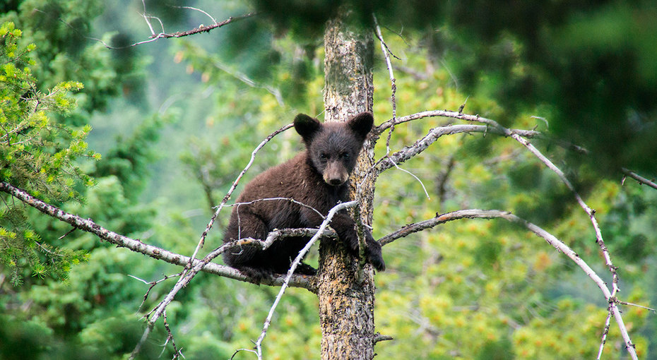 Очень долгая ночь: разъяренный медведь загнал медвежонка навершину дерева, а там — хищные орлы