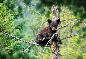 Разъяренный медведь загнал медвежонка на вершину дерева, а там — хищные орлы