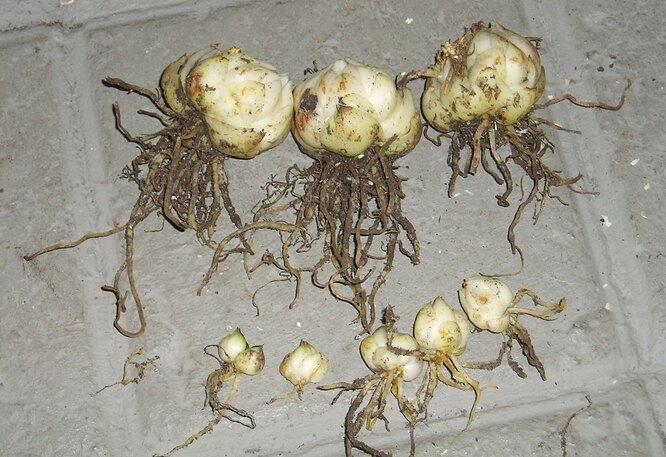 Луковицы лилий для посадки осенью должны быть здоровыми, но не обязательно крупными