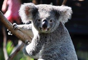 Австралийская семья вернулась домой и обнаружила на рождественской ёлке коалу