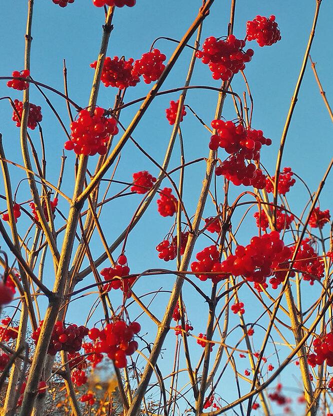 Ягодны калины, черной бузины, рябины оставьте на ветвях для птиц.