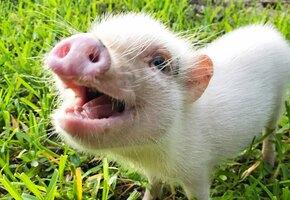 О пользе сала: ученые вырастили нижнюю челюсть благодаря свиному жиру