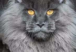 Пушистый рекордсмен: как живет кот с 27 пальцами