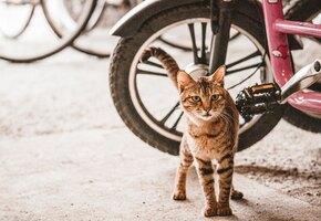 Хозяин два года возит кошку на велосипеде по всему миру
