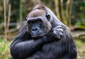 «Мой крошка»: ветцентр снял нежные кадры знакомства мамы-гориллы с новорожденным