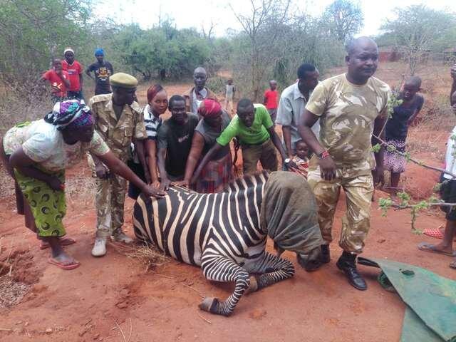 зебра и люди
