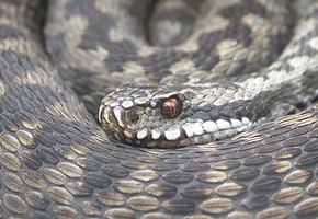 Важно запомнить: 5 самых ядовитых змей, которые распространены в России
