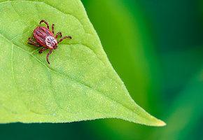 Опасный сезон: что нужно знать о клещах и их укусах