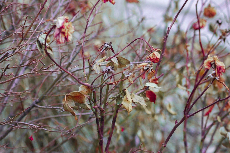 сухие цветы, мертвые цветы, сад