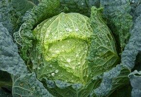 Полезные свойства кочанной капусты