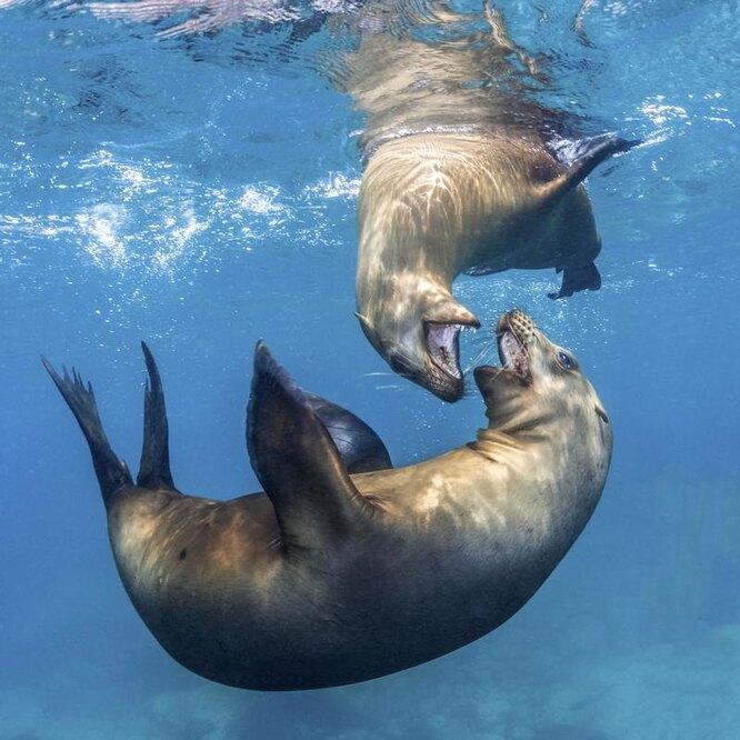 морские львы играют