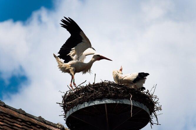 Чтобы деревня процветала: жители построили местному аисту новое гнездо