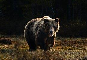 «Не мешай тете»: медведица поругала детеныша, который залез к людям