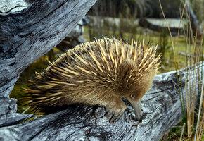 Полтора килограмма обаяния: австралийский зоопарк показал детеныша редкой ехидны