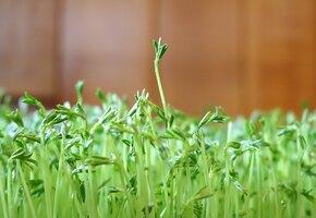Микрозелень: как вырастить витамины на подоконнике?