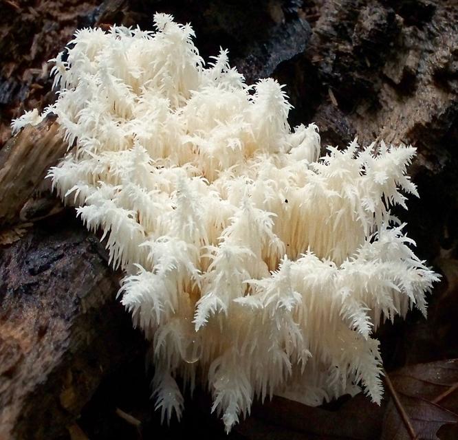Гриб ежовик коралловидный