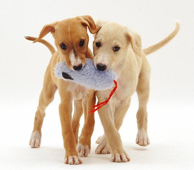 щенки, два щенка