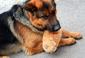 Молочная мама: собака, потерявшая щенков, выкормила трех бездомных котят