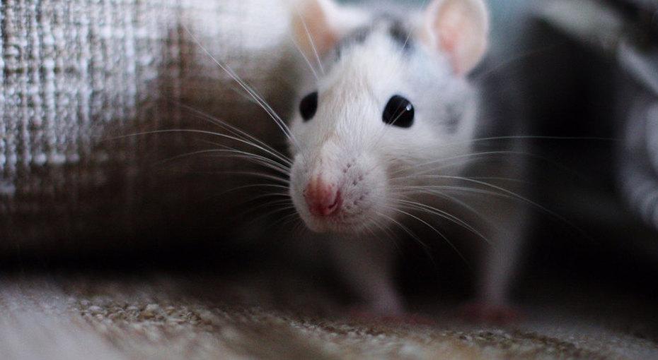 «Не покупайте крыс вподарок наНовый год!»