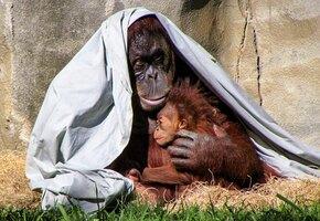 Гордый отец: орангутан взялся за воспитание дочери после смерти мамы