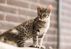 10 самых дорогих пород кошек, которые стоят своих денег