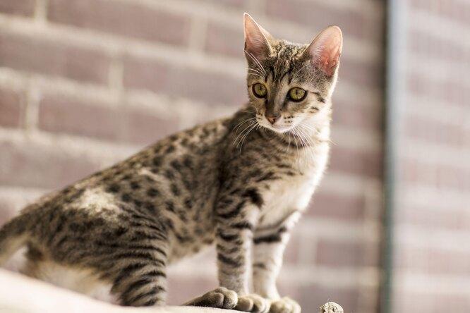 Золотое мяу: 10 самых дорогих пород кошек, которые стоят своих денег