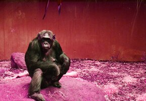 Zoom-свидание для шимпанзе: в Чехии придумали, как подбодрить питомцев зоопарка