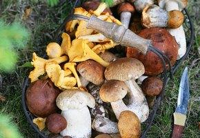 Охота на лисичек! Что приготовить с любимыми грибами?