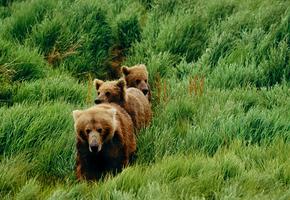 Зрелище каких мало: мама-медведица привела детенышей поплавать в бассейне