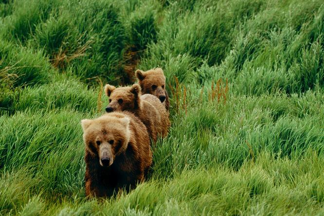 Зрелище каких мало: мама-медведица привела детенышей поплавать вбассейне