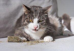 Почему кошки любят валерьянку, как она действует, и можно ли валерьянку котам