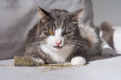 Почему кошки любят валерьянку, как она действует, иможно ли валерьянку котам