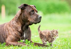Добрый питбуль привел домой беременную кошку и помог ей родить