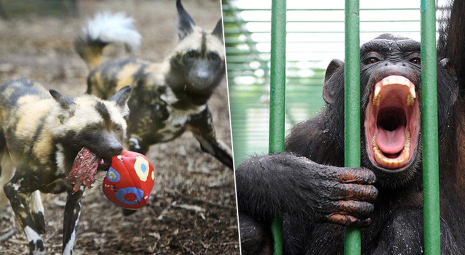 Дикие иопасные: ужасные случаи нападения животных налюдей взоопарках