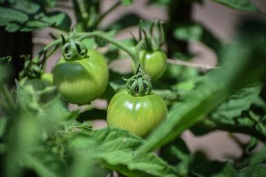 Можно ли снимать помидоры зелёными икак дольше сохранить урожай томатов дома?