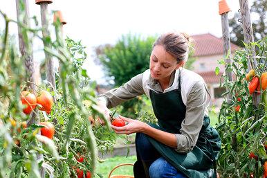 Больше урожая: как ухаживать запомидорами вавгусте?