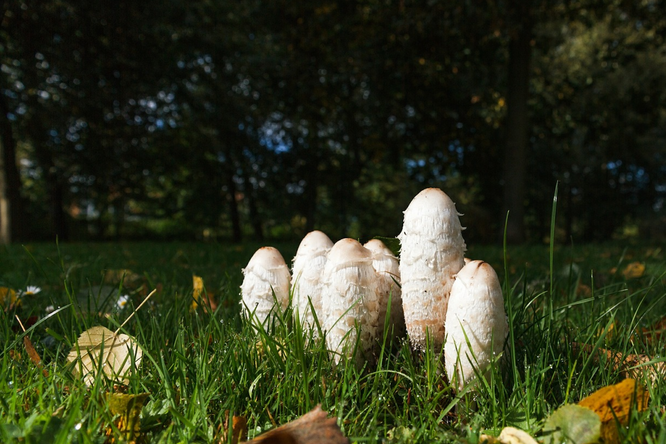 Странные, но съедобные грибы: дрожалка, навозник, ежовик идождевик