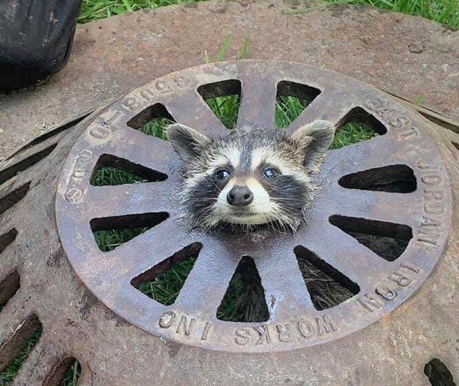 енот застрял в канализационном люке