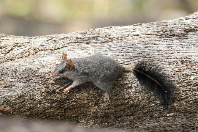 сумчатая мышь