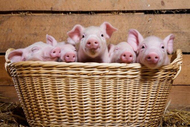 свинина, поросята