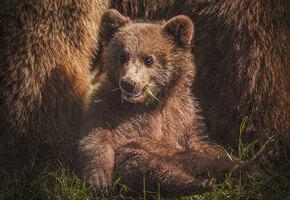 В Канаде задержали медвежонка, который пытался незаконно пересечь границу с США