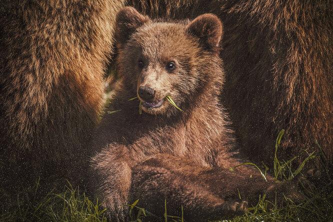 В Канаде задержали медвежонка, который пытался незаконно пересечь границу сСША