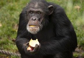 Умирающая шимпанзе