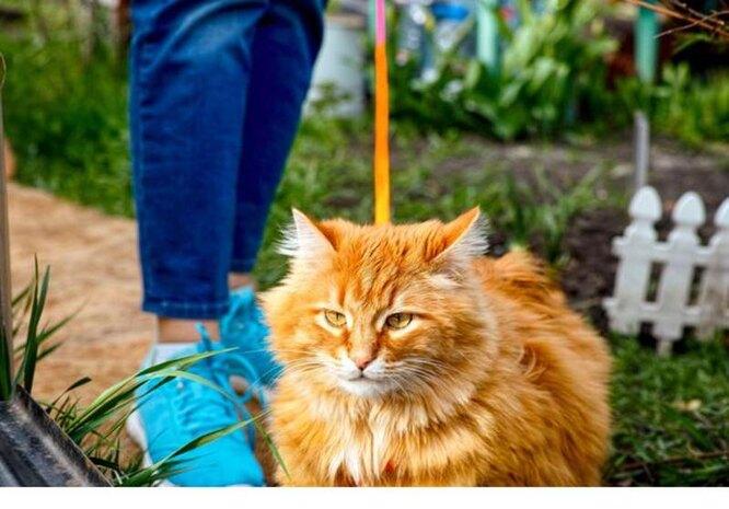 рыжий кот на прогулке