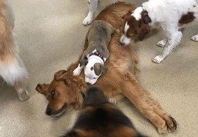 Хитрый щенок дружит только с пушистыми собаками. И вот почему