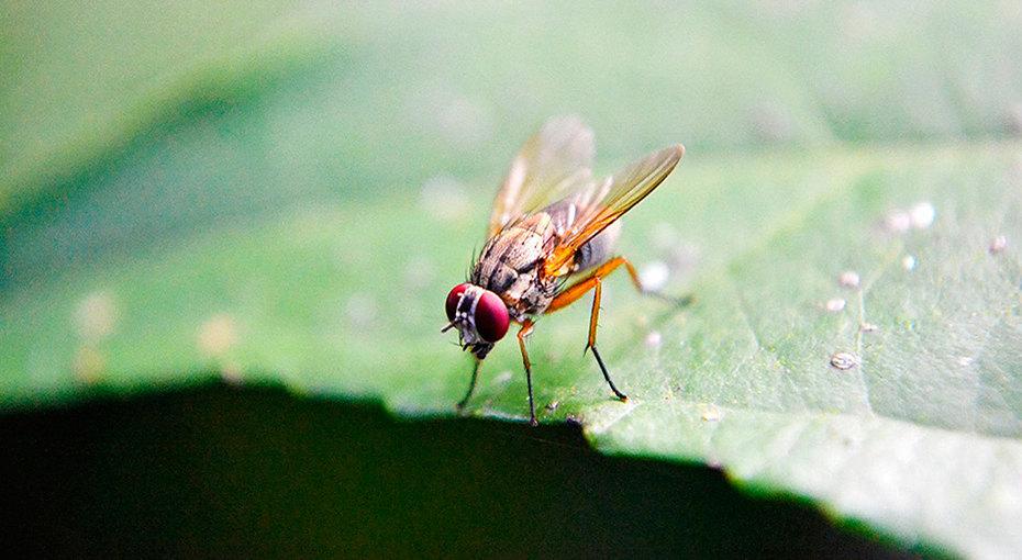 Плодовые мушки: как быстро избавиться отнадоедливых насекомых