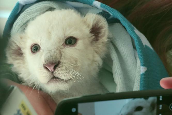 Маленький львенок начал слепнуть, иего забрали ухозяйки. Как он живет сейчас?