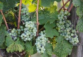 Самые распространенные болезни винограда и методы борьбы с ними